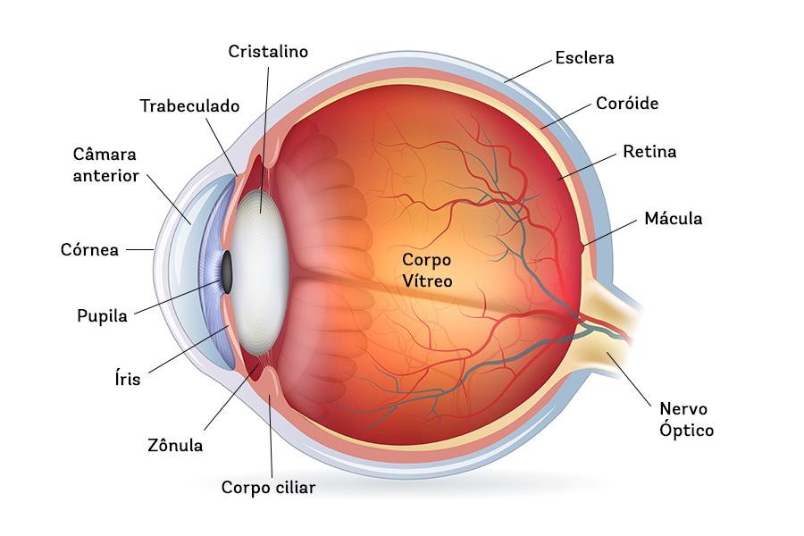 Desenho esquemático do olho nomeando as suas partes.