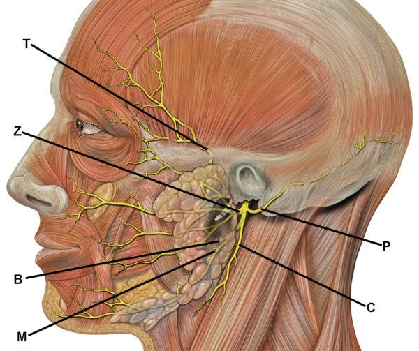 Figura representando os músculos faciais